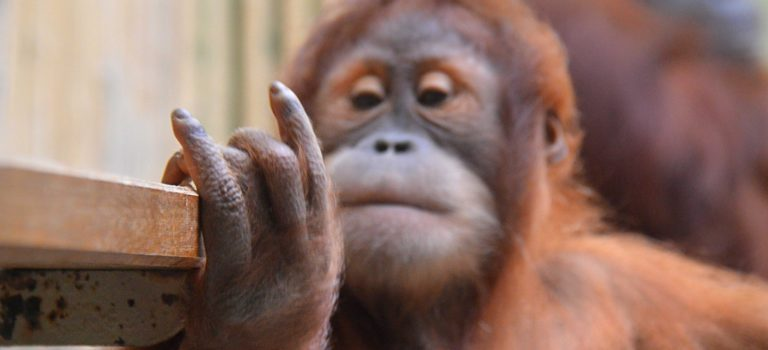 Orang-Utan-Kind im Dresdner Zoo   CC BY-SA 2.0 superscheeli via Flickr