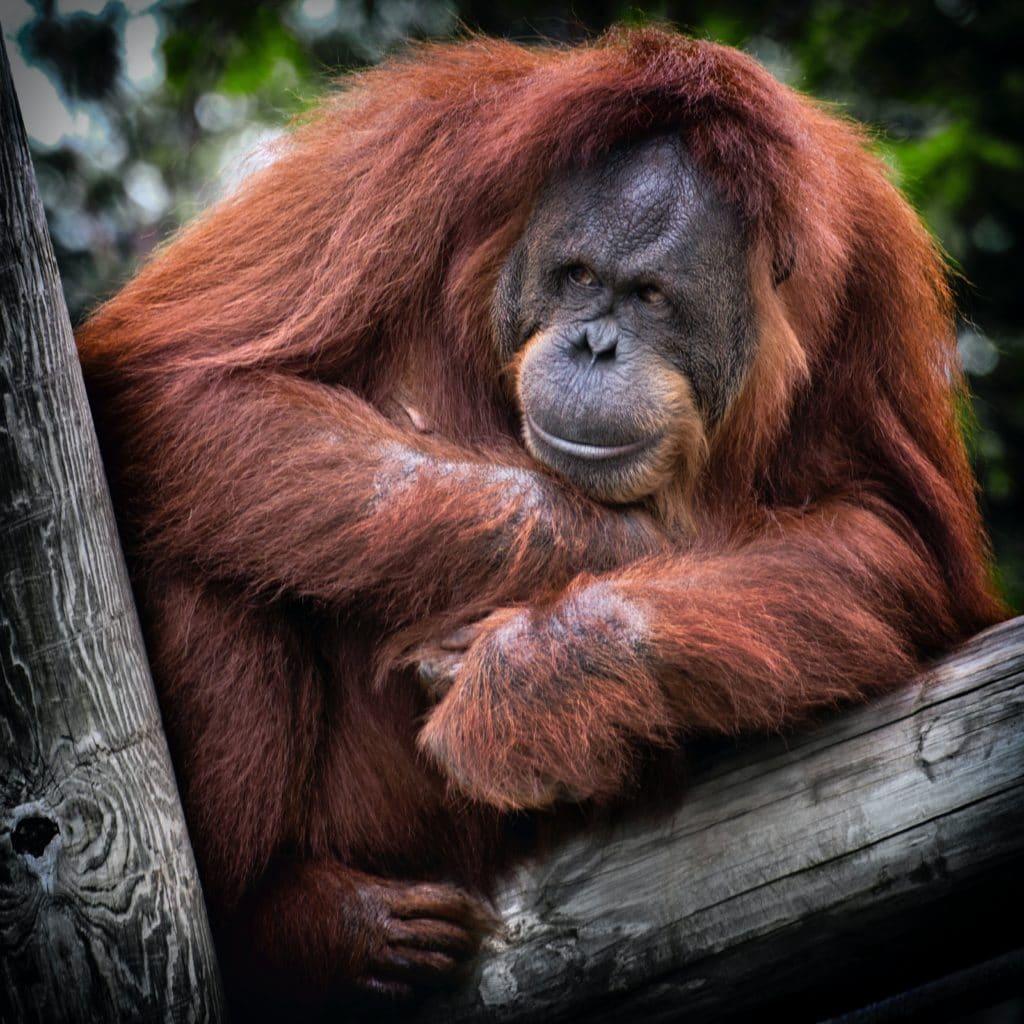 Ein Orang-Utan sitzt auf einem Stamm
